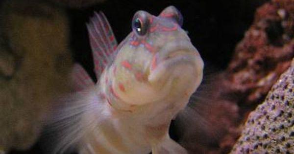 Pink And Blue Spotted Goby Reef Safe Fish Marine Aquarium Fish Aquarium Fish