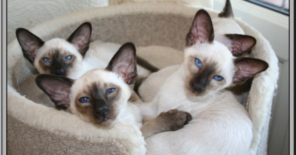 The Breeder Of These Beautiful Siamese Kittens Has Used The Term Raised Underfoot This Is A Term Used By Good Breede Pretty Cats Cats And Kittens Cute Cats