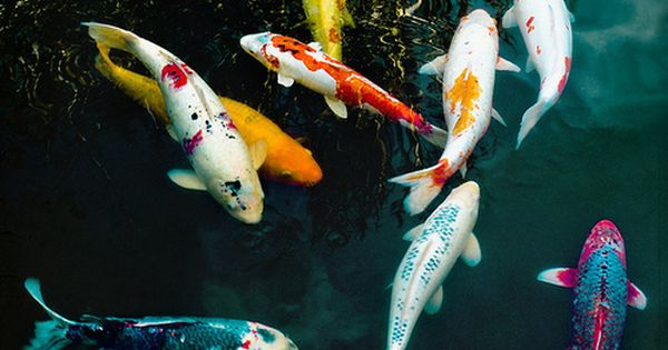 Koi colours white black red yellow blue and cream for Blue and white koi fish