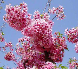 Pink Cloud Flowering Cherry Flowering Cherry Flowering Cherry Tree Pink Clouds Cherry Blossom Tree