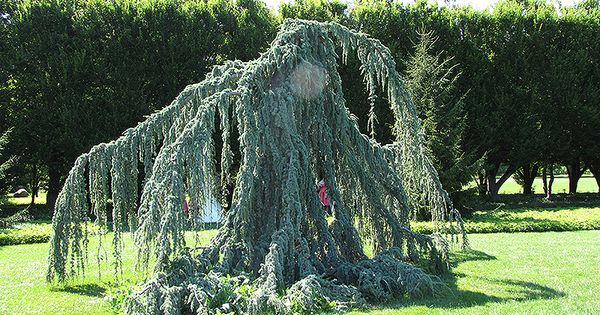Click To View Full Size Photo Of Weeping Blue Atlas Cedar