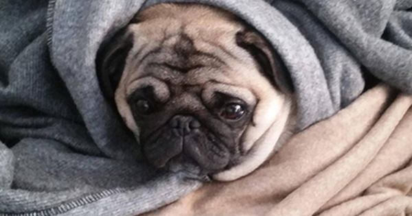 Any dog burrito is warm and snuggly, but wrinkly dog burritos are the answer to the very coldest and darkest of winter days. Ahead, 13 perfectly smushy little b | See more about Burritos, Pugs and Dogs.