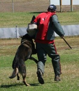 Training A Protection Dog Caucasion Ovcharka Attack Dog Training