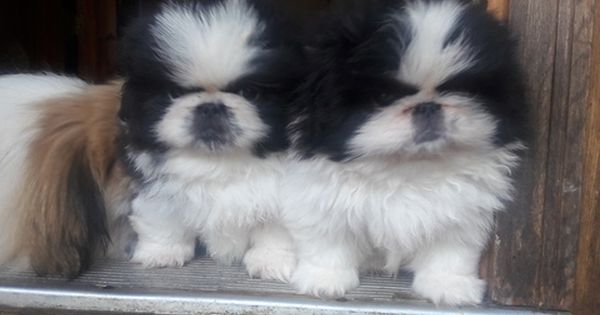 Litter Of 2 Pekingese Puppies For Sale In Asheville Nc Adn 38616