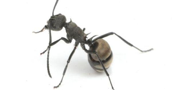 クロトゲアリ Polyrhachis Dives 蟻 駆除 蟻 キリギリス