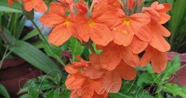 Maworld Common Name Crossandra Firecracker Flower In 2020 Flowers Flower Pictures Flowers For You