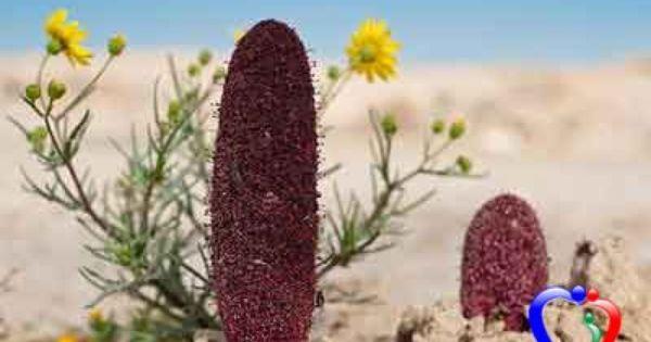دنيتي فوائد الطرثوث الصحية Plants Cactus Plants Vegetables