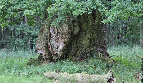 Alte Eiche In 2020 Eichenrinde Eiche Baum Stieleiche