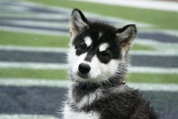 Meet Dubs The U W Mascot Most Beautiful Dogs Siberian Husky