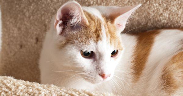 Domestic Short Hair Orange And White Turkish Van Cat Turkish Van Cats Turkish Van Swimming Cats