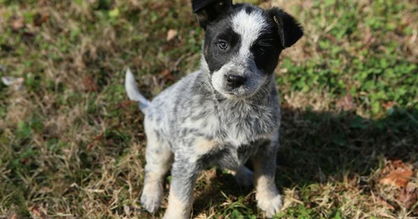 Litter Of 6 Blue Healer Border Collie Mix Puppies For Sale In Franklin Tn Adn 54892 On Pu Cattle Dogs Mix Heeler Puppies Australian Cattle Dog Border Collie