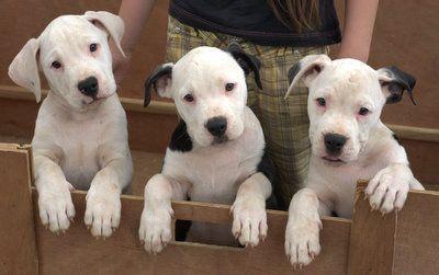 American Bulldogs Of Costa Rica Bulldog Puppies American Bulldog Puppies American Bulldog