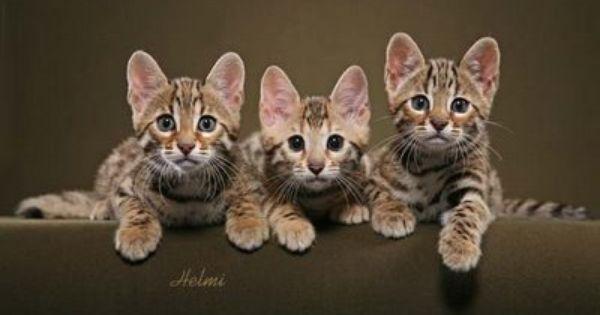 Texas Star Bengal Kitten Shoot Bengale Chat Bengale Cat