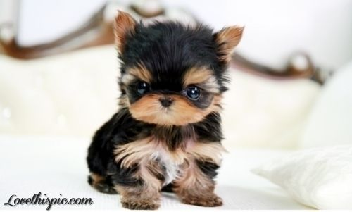 Cute Teacup Yorkie Girl Dog Puppy Teacup Yorkie Shire I Want