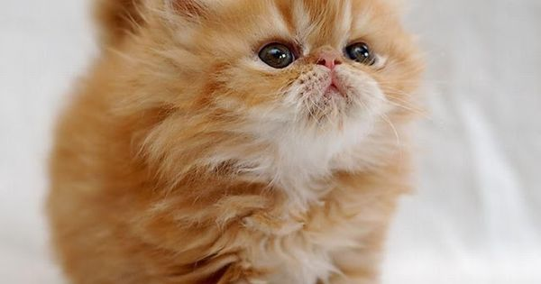 10 Things You Should Know about Persian Cats Click the picture to