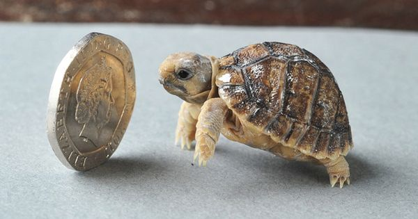 This Egyptian tortoise is very small | This Year's 45 Most Lovable