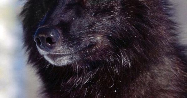 Black Wolf with blue eyes | family.. | Pinterest | Djur ...