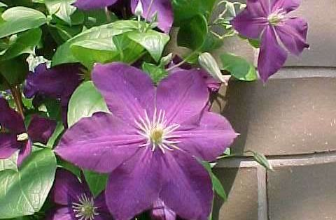 Low maintenance perennials mo clematis 39 jackmanii for No maintenance perennial flowers