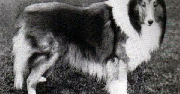 Collie Online Pedigree Database Anfield Model Ch Collie Rough Collie Collie Dog