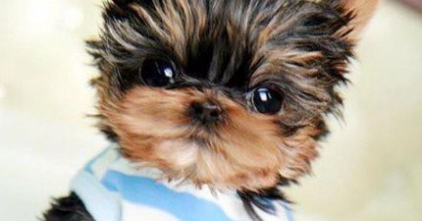 Micro Teacup Yorkie.... Cutest dog I have ever seen! My dog could hide this tiny dog inside her ears! (p.s. I have a Bloodhound)