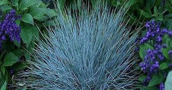 100 blue fescue ornamental grass seeds under the sun for Ornamental grass with blue flowers