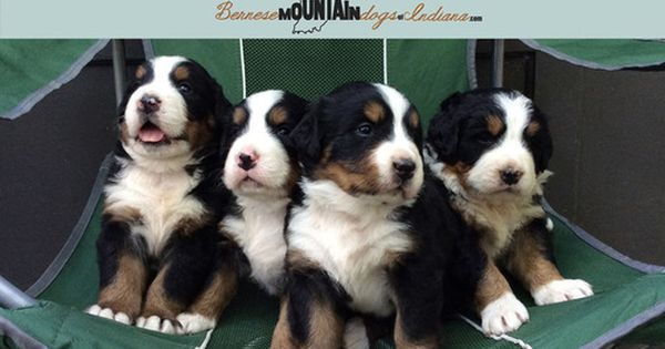 Litter Of 5 Bernese Mountain Dog Puppies For Sale In Columbus In