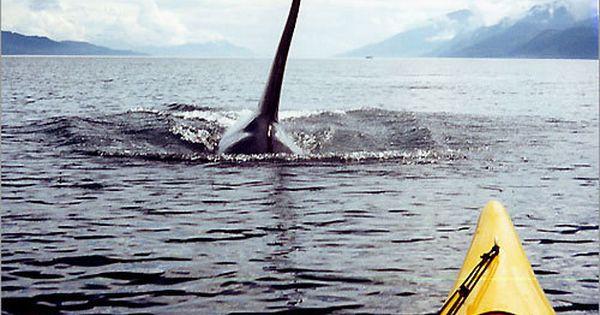 Five Day San Juan Island Kayak Expeditions Kayaking With Orca Whales Cruise Vacation By Sea Quest Expeditions Traveldragon Sea Kayaking Kayaking San Juan Island