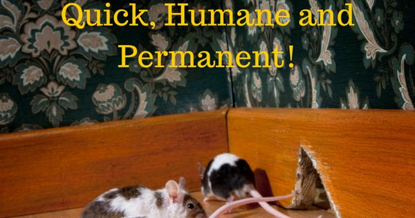how to get rid of mice safe
