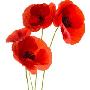 Die Beruhmte Mohnblume Meteocity Mohn Malerei Wie Man Blumen Malt Mohnblumen Kunst