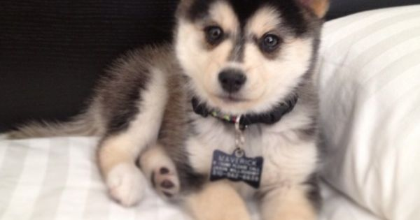 "What Do You Know about the Latest Hybrid Dog ""Pomsky""? ❤ liked"