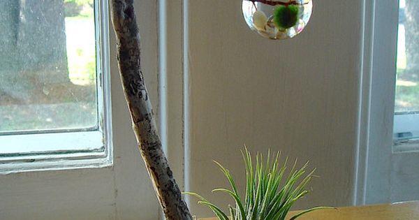Driftwood Live Marimo Ball Zen Ecosphere Terrarium