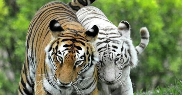 Normal Tiger and an albino walking together | Adorable ...