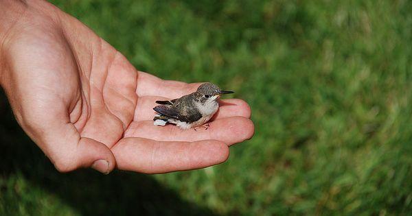 Baby Ruby-throated Hummingbird | Baby hummingbirds, Ruby ...