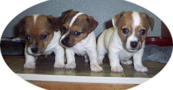Jack Russell Terrier Puppies For Sale Roanoke Va Jack Russell Terrier Puppies Jack Russell Terrier Pitbull Terrier