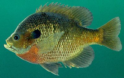 Bream fish pictures alabama freshwater fishing fish in for Alabama freshwater fish