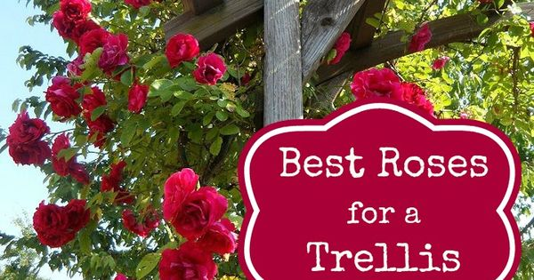 Best Roses for a Trellis