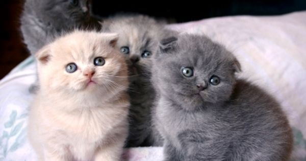 Scottish Fold Kittens. I had a kitten that looked like