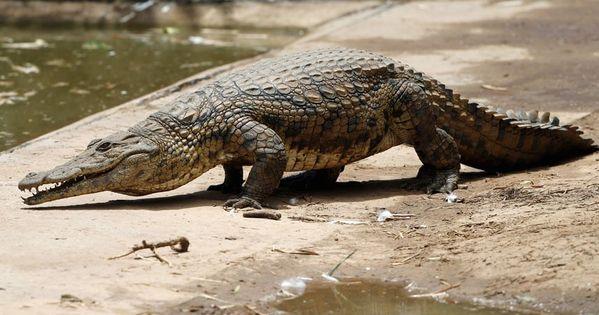 Крокодил убил заклинателя крокодилов в Индонезии