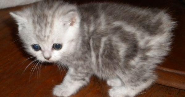 manx cats | Manx Kittens | manxstation.com | Manx kittens ...