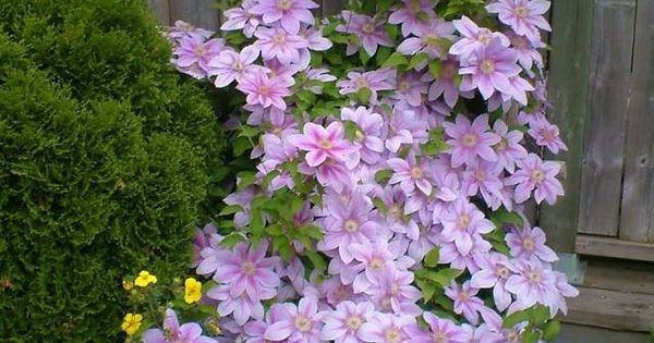 waldrebe kletterpflanze lila rankhilfe tipps pflegen | &clematis, Gartengerate ideen