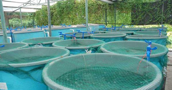 Designing and building a koi breeding pond koi fish pond for Koi pond hydroponics