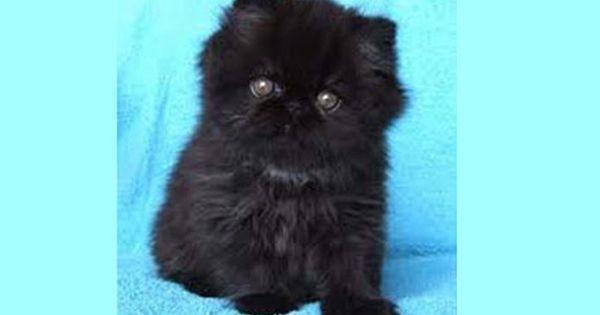 Black Persian Kitten Persian Kittens Cats Cat Day
