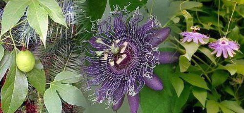 Hardy Passion Flower 5 Seeds Maypop Passiflora Passion Flower Passion Flower Plant Planting Bulbs