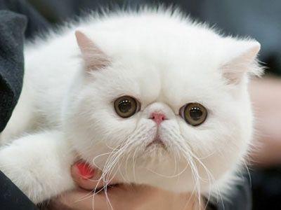 Pin On Good Cat Breeds