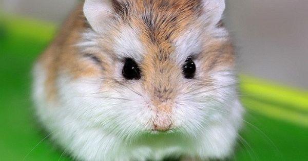 All About Dwarf Hamsters Roborovski Hamster Dwarf Hamster Hamster