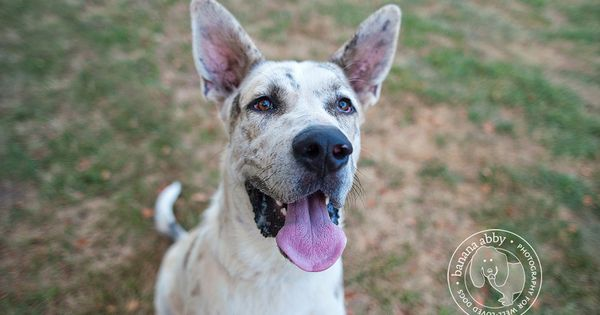 Great dane mix, Dane mix and Awesome dogs on Pinterest