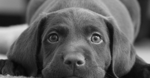Labrador Retriever Puppy chin down, lying down on carpet, cute face shot.