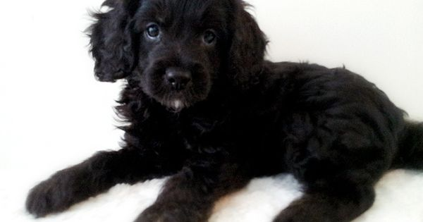 Black Cavoodle Puppy Cavapoo Puppies Puppies Black Puppy