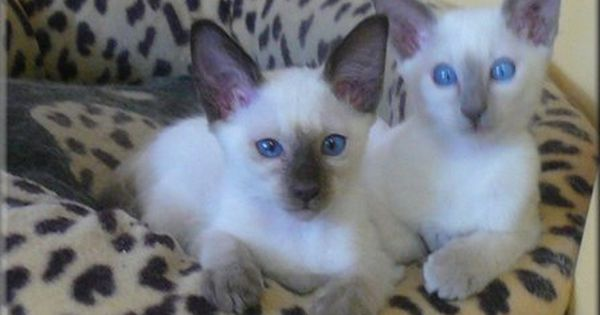 Balinese Kittens Cat Breeder Kittens Balinese Cat