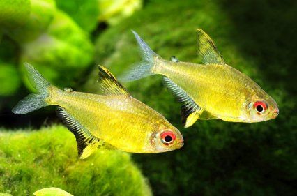 Lemon Tetra Aquarium Fish Tetra Fish Fish Tank